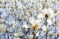 Yulan magnolii kwiaty Zdjęcie Stock