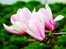 Yulan, Magnoliowy kwiat, Chińskiego bielu magnolia, kwiat Fotografia Royalty Free