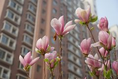 yulan magnoliowy kwiat kwitnie w wiośnie Obrazy Stock