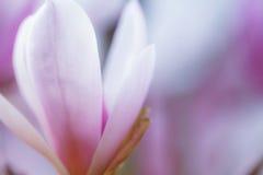 Yulan płatka Magnoliowy tło Zdjęcie Royalty Free