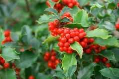 Yuletide Holly Berries Stock Image