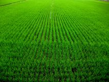 Yuli Rice Paddies, Taiwan Stock Photos