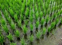 Yuli Rice Paddies, Taiwan Royalty Free Stock Images