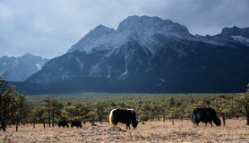 Yulong snow capped mountain and yak Royalty Free Stock Images