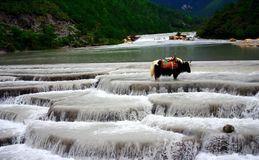 Yulong Snow mountain-yak Stock Photos