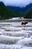 Yulong snow mountain-yak Stock Photography