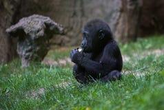 ` Yummy, πήρα τα τρόφιμά μου!! ` - γορίλλας μωρών Στοκ εικόνα με δικαίωμα ελεύθερης χρήσης