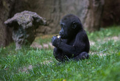 `Yummy, I got my food!!` - Baby Gorilla Royalty Free Stock Image