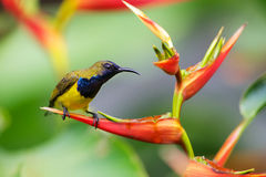 Yummy!. Male olive-backed sunbird on a heliconia flower Stock Photo