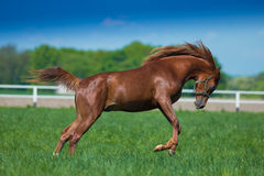 Yumping arabian stallion. Jumping arabian stallion on the pasture Stock Images