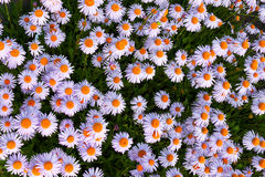 Yun-Nan Aster flowers Stock Images