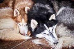 Yun and yang. Sleeping husky dogs black and white Royalty Free Stock Photo