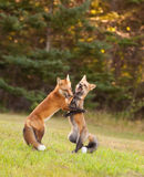 Yung foxes honing their fighting skills. Two young red foxes wrestling at the edge of the forest Royalty Free Stock Photo
