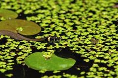 Yung grass snake (Natrix natrix) Stock Photo