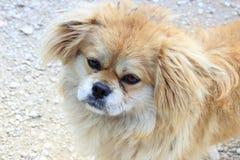 yungui高原逗人喜爱的狗  免版税库存图片