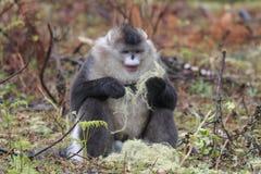 Yunnan Black Snub-Nosed Monkey Rhinopithecus Bieti.  Royalty Free Stock Photos