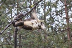 Yunnan Black Snub-Nosed Monkey Rhinopithecus Bieti.  Stock Photo