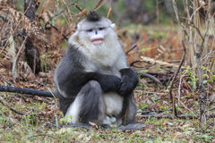 Yunnan Black Snub-Nosed Monkey Rhinopithecus Bieti.  Stock Image