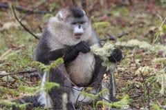 Yunnan Black Snub-Nosed Monkey Rhinopithecus Bieti.  Royalty Free Stock Photo