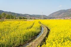 YUNNAN, CHINA - 21 DE MARÇO DE 2015: campo da Violação-flor em Shaxi antigo Foto de Stock