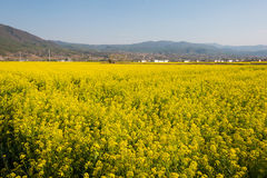 YUNNAN, CHINE - 21 MARS 2015 : gisement de Viol-fleur chez Shaxi antique Image stock