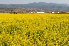 YUNNAN, CHINE - 21 MARS 2015 : gisement de Viol-fleur chez Shaxi antique Image libre de droits