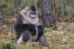 Yunnan Czarny ostrożnie wprowadzać Małpi Rhinopithecus Bieti Obrazy Stock