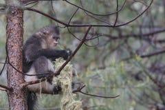 Yunnan Czarny ostrożnie wprowadzać Małpi Rhinopithecus Bieti Obrazy Royalty Free