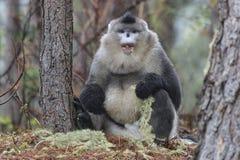 Yunnan Czarny ostrożnie wprowadzać Małpi Rhinopithecus Bieti Obraz Stock