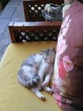 Yunnan Lijiang China Cat Kitten Deep Sleep Day Dreaming durmiente imágenes de archivo libres de regalías