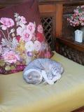Yunnan Lijiang China Cat Kitten Deep Sleep Day Dreaming durmiente imagenes de archivo
