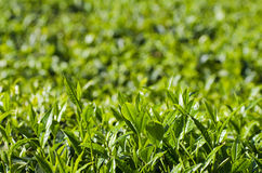 Yunnan Puer tea tea Yingpanshan acres of sightseeing close Stock Image
