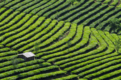 Yunnan Puer tea Yingpanshan acres sightseeing Stock Photography