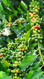 Yunnan small particles of coffee. In Yunnan (China) abounds in subtropical valleys of small particles of coffee,coffee mature every year in October,mature coffe Royalty Free Stock Photo
