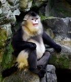 Yunnan snub-nose monkey. Naughty naughty cute Chinese yunnan golden monkey stock photo