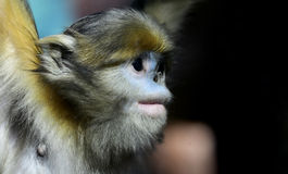 Yunnan snub-nose monkey Stock Photography