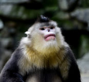 Yunnan snub-nose monkey Royalty Free Stock Photo