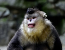Yunnan snub-nose monkey Stock Images