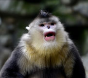 Yunnan snub-nose monkey Royalty Free Stock Photography