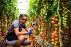 Yuong mężczyzna średniorolny agronom w szkłach sprawdza stan czereśniowi pomidory w dojrzałym w szklarni Zdjęcia Stock