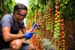 Yuong mężczyzna średniorolny agronom w szkłach sprawdza stan czereśniowi pomidory w dojrzałym w szklarni Zdjęcie Royalty Free