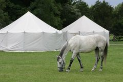 Yurt. White horses grazed in the green grass beside the yurt tents Stock Photos