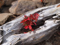 Yushan Barberry Royalty Free Stock Photography