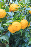 Yuzu: Citrus junos. Is a kind of Japanese citrus Royalty Free Stock Photo