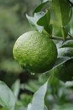 Yuzu: Citrus junos Stock Images