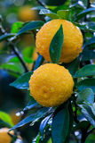Yuzu fruits in the rain. Yuzu: Citrus junos is a kind of Japanese citrus Royalty Free Stock Image