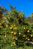 Yuzu fruits on the tree. Yuzu: Citrus junos is a kind of Japanese citrus Stock Photos