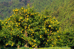 Yuzu fruits on the tree. Yuzu: Citrus junos is a kind of Japanese citrus Royalty Free Stock Photography