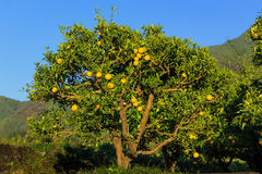 Yuzu fruits on the tree. Yuzu: Citrus junos is a kind of Japanese citrus Royalty Free Stock Image