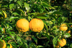 Yuzu fruits on the tree. Yuzu: Citrus junos is a kind of Japanese citrus Stock Image